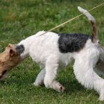 Fox Terrier toelettatura